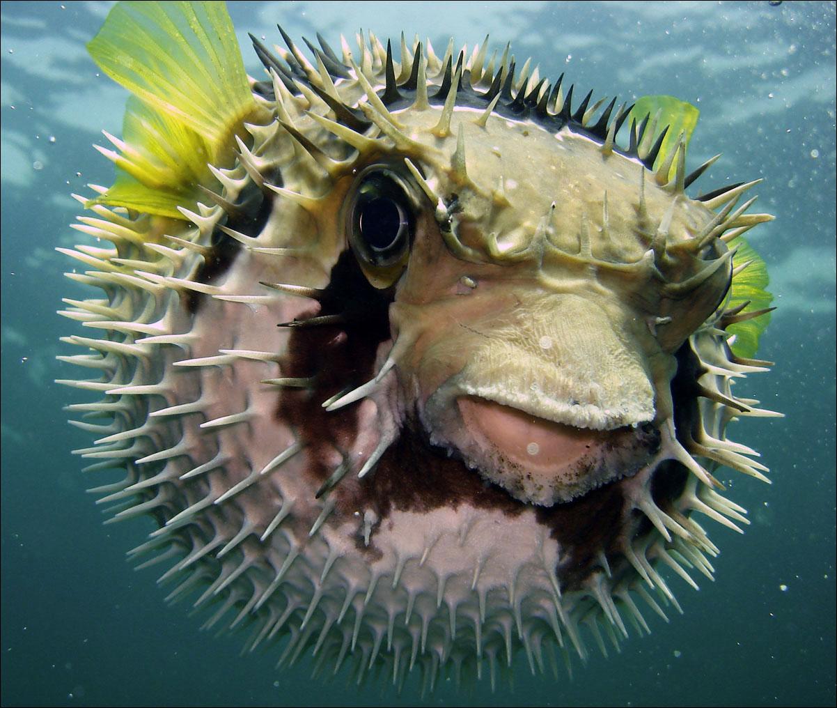 giant puffer fish puffed up - photo #31